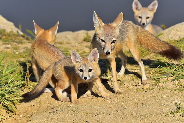 Kit foxes at Carrizo Plain, shot in 2017 by Chris Lyall