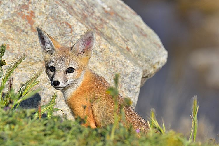 Kit foxes at Carrizo Plain, photo shot in 2017 by Chris Lyall