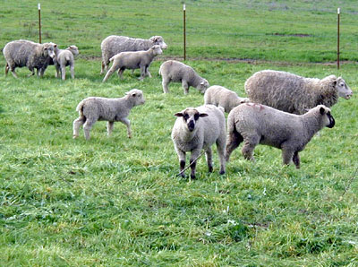 Sheep graze in an enclosed area