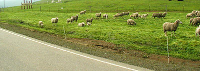 Sheep next the highway