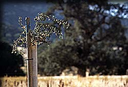 Young oak tree tied to a small wooden post